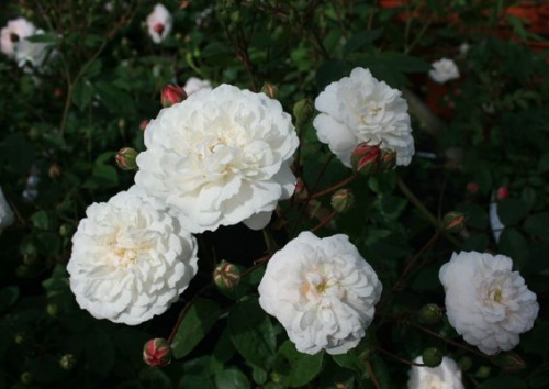 Rosa chinensis 'Little White Pet'