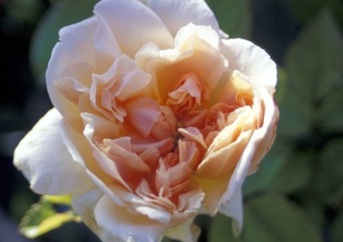 Rosa 'Sweet Juliet'