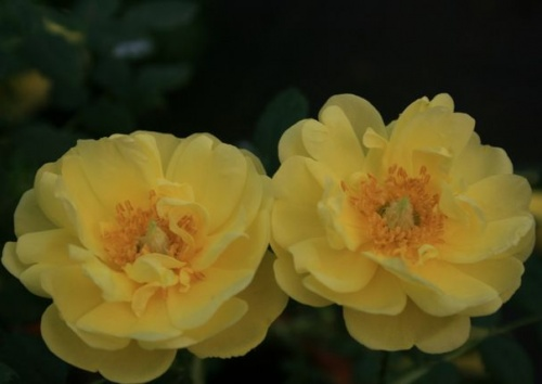 Rosa pimpinellifolia 'Double Yellow'