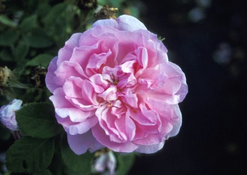 Rosa damascena 'Quatre Saisons'
