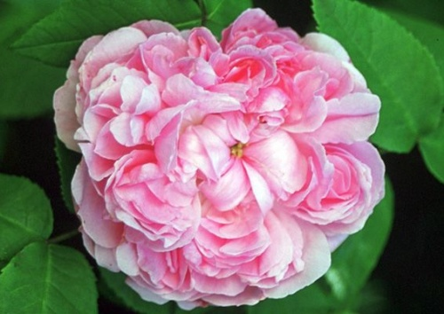 JACQUES CARTIER Damaszenerrose