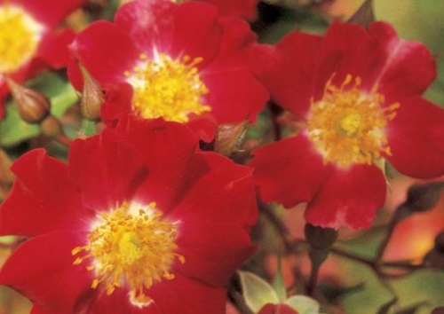 Rosa 'Red Meidiland'