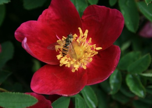 Rosa pimpinellifolia 'Single Red'