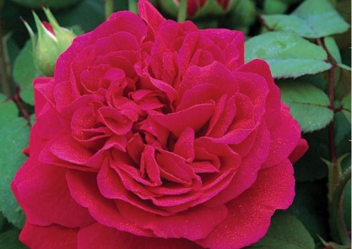 Rosa 'Tess of the D`urbervilles'