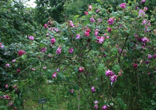 Rosa centifolia 'William Lobb'