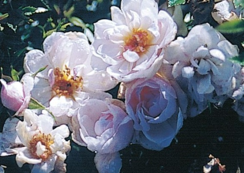 Rosa 'White Carpet'