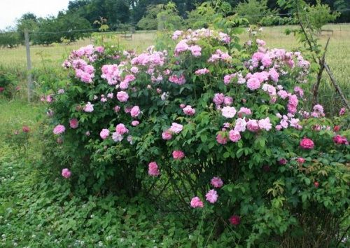 Rosa damascena 'Ispahan'
