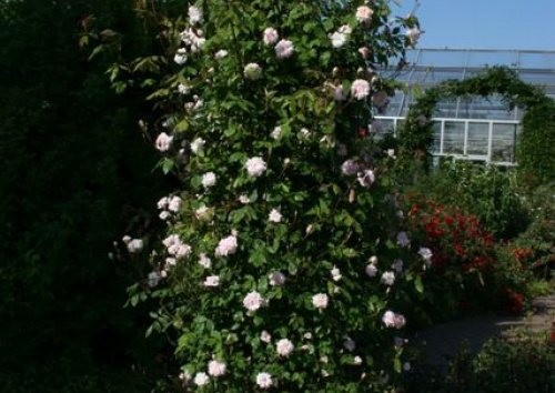 Rosa 'Climbing Cecile Brunner'