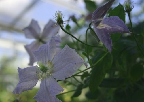CLEMATIS BLUE ANGEL jackmanii