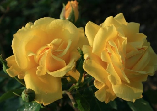 Rosa 'Golden Gate'