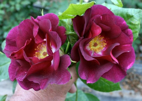 Rosa 'Night Owl'