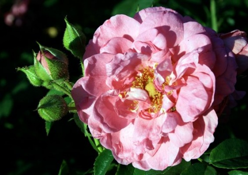 Rosa 'Cape Diamond'