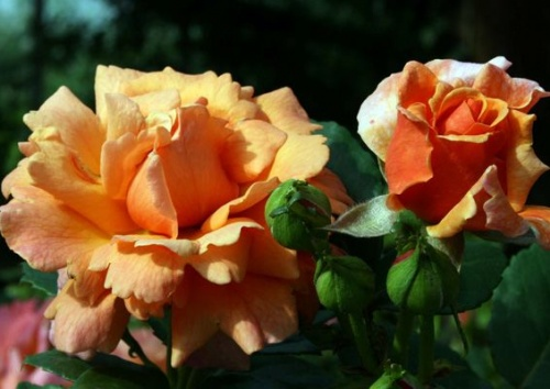 Rosa 'Steinfurther Abendsonne'