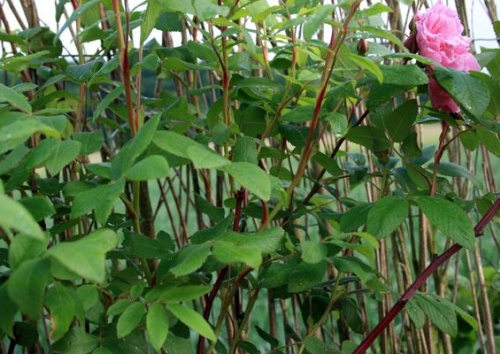 Rosa rugosa 'Therese Bugnet'