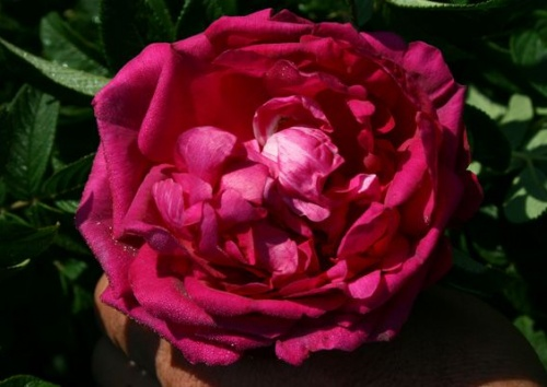 hr4-Rose JUNIMOND rugosa