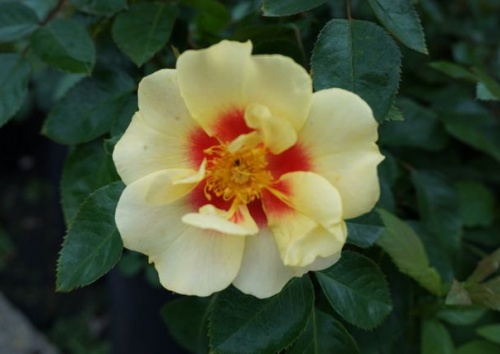 Rosa 'Eye of the Tiger'