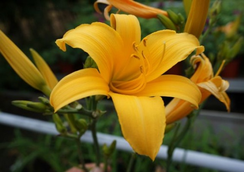 HEMEROCALLIS GOLDEN JUBILEE