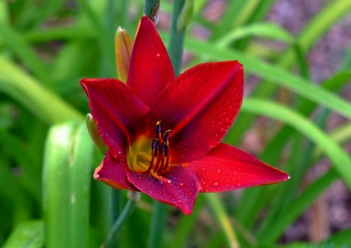 HEMEROCALLIS BERLIN REDSTAR