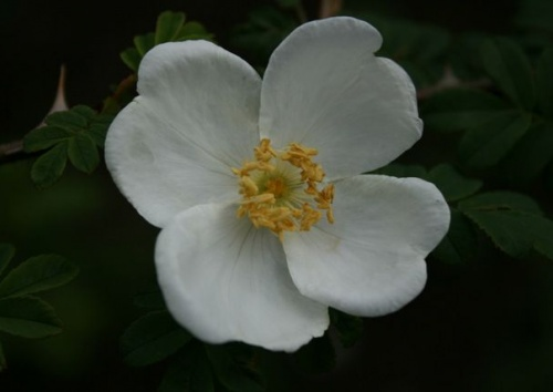 Rosa omeiensis pteracantha