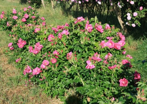 ROTES MEER rugosa