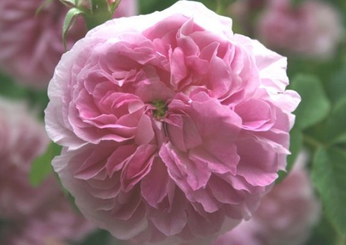 Rosa damascena 'Blush Damask'